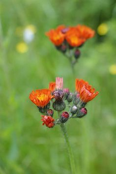 Indian Paintbrush in the yard