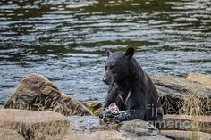 A BEAR'S LUNCH- A: Available as a fine art print, canvas and greeting cards.   Black Bear at Neets Bay, Alaska