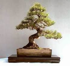 50 Best Bonsai Informal Upright Or Moyogi Tree Style Visible Curves In Trunk And Branches Ideas Bonsai Styles Bonsai Bonsai Tree