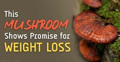 New research suggests that medicinal mushrooms may be useful in reducing weight gain and may even be a promising natural therapy for obesity. http://articles.mercola.com/sites/articles/archive/2015/07/06/medicinal-mushroom.aspx