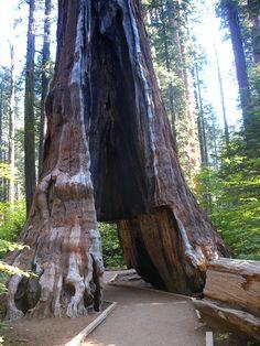 Calaveras Big Trees State Park in California: Pioneer Cabin Tree