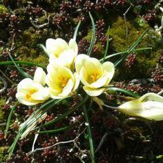 crocus flowers on the roof