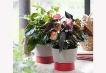 In juni is Anthurium de Woonplant van de maand. Een exotische plant die met zijn glimmende bladeren en gekleurde schutblad zowel een klassiek als een modern interieur tot leven brengt.