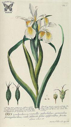Iris orientalis (as Iris ochroleuca). White flowers with large yellow signals. Grows to 3 feet tall. An especially vigourous, spreading perennial to 3 feet tall. Trew, C.J., Ehret, G.D., Plantae selectae, vol. 10: t. 100 (1773) [G.D. Ehret]
