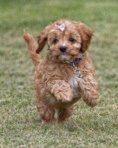 our prancing baby girl.  cavapoo puppy