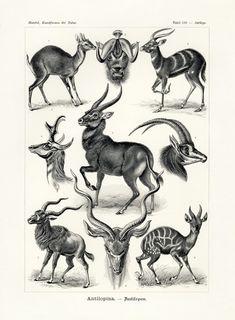 Ernst Haeckel Print, Natural History print, Antelope print, Ernst Haeckel Scientific Illustration, I Vintage Drawing, Vintage Artwork, Vintage Paintings, Vintage Paper, Ernst Haeckel Art, Natural Form Art, Nature Illustration, Antique Prints, Vintage Prints
