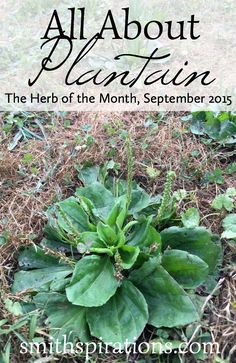 All About Plantain the Herb of the Month for September 2015 This extremely beneficial herb is often right under our noses I love it Permaculture, Medicinal Weeds, Edible Wild Plants, Herbs For Health, Wild Edibles, All Nature, Healing Herbs, Growing Herbs, Herbal Medicine