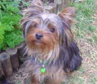 Free Yorkshire Terrier: Training Mini Course