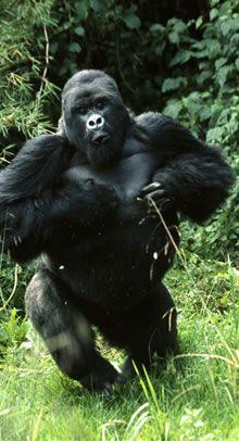 MOUNTAIN GORILLA TREKKING in Rwanda - I want to do this next year.