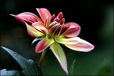 dahlia-en-fleur.jpg (604×403)
