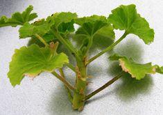 Od srpna lze muškáty množit řízkováním. Zakoření a přezimují   Zahrádkář Herbs, Instagram, Herb, Medicinal Plants