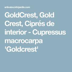 GoldCrest, Gold Crest, Ciprés de interior - Cupressus macrocarpa 'Goldcrest'