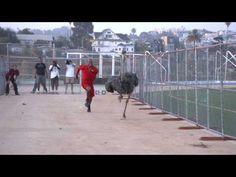 Sports Science:  Dennis Northcutt Vs. Ostrich - YouTube