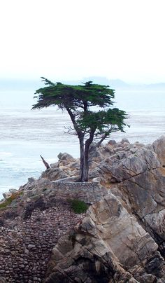 california cypress aloha