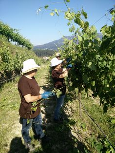 Todos os detalhes são importantes na qualidade da vinha... All details count on vine quality...  #Alvarinho