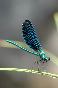 Dragonfly Images, Blue Dragonfly, Beautiful Bugs, Totems, Dragonflies, Spirit Animal, Trees To Plant, Animals And Pets, Moth