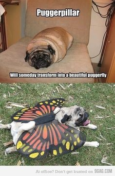 I don't know why but this makes me laugh so hard! Pugs.