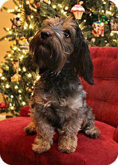 Abilene, TX - Dachshund/Schnauzer (Standard) Mix. Meet Bentley a Dog for Adoption.