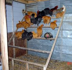 chicken roosts pictures | Chickens Roosting