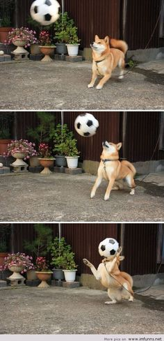 Shiba Inu gets hit with ball