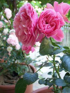 'Leonardo da Vinci ' Rose