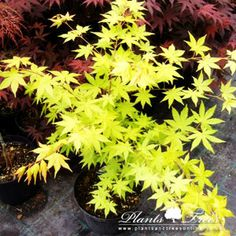 761 Best Japanease Maples Images In 2018 Japanese Gardens Acer