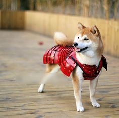 http://ift.tt/2r36f7G suited-up Shiba Inu in custom-made Samurai armor!