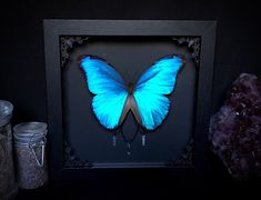 Taxidermy Butterfly Blue Morpho XL Real with Quarts Crystal Points in Gothic Witch Black Shadow Box Halloween, Morpho Butterfly, Butterfly Frame, Ouija, Shadow Box, Quarts Crystal, Halloween Witch Decorations, Horror Decor, Goth Home Decor, Wonderland