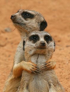 I still miss Meerkat Manor....