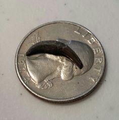 Baby dolphin tooth Aurora, NC Joyce