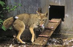 15 tips for keeping the predators away from your backyard chicken