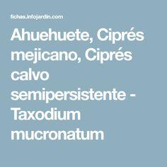 Ahuehuete, Ciprés mejicano, Ciprés calvo semipersistente - Taxodium mucronatum