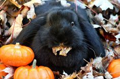Black Bunny <3 I use to have a black bunny, so cute && cuddly. They are great pets.