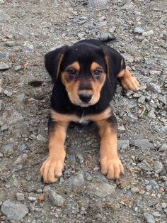 New Zealand Huntaway | New Zealand huntaway / beardie puppies for sale | Auchterarder ...