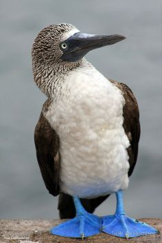 Blue Footed Booby-Galapagos by Sue Cullumber