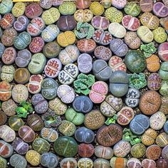 "5,820 Likes, 93 Comments - Karina (@sacredelements) on Instagram: "" #repost of these happy #lithops (or cute troll butts as I have come to see them) to brighten up…"""