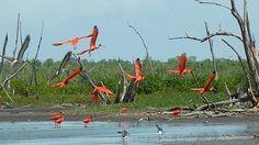 scarlet ibises in Suriname # rode ibis,#warapakreek Suriname
