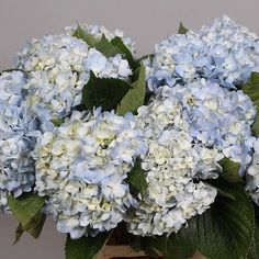 <p> 	HYDRANGEA SOEUR THERESE BLUE is a beautiful Blue cut flower. It is approx. 60cm and wholesaled in Batches of 10 stems. HYDRANGEA SOEUR THERESE BLUE is ideal for flower arrangements, hand-tied bouquets & wedding flowers.</p>