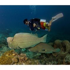 Bumphead parrotfish from a PADI scuba diving fan on Instagram