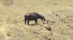 Lion attack Buffalo