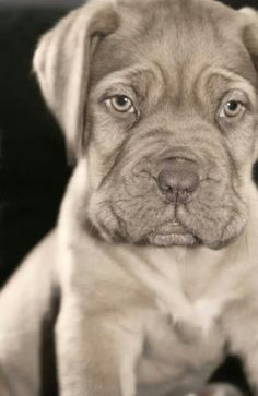 Douge de Bordeaux puppy - the most amazing and heart warming dog youll ever find <3