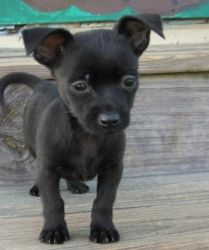Shelton is an adoptable Chihuahua Dog in Spartanburg, SC. � ALL ABOUT ME!!! Name: Shelton Breed: We think Chihuahua/min pin mix, according to the owner that turned them into the shelter they are Bicho...