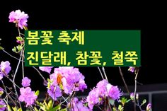2017년 4월축제 봄꽃축제 일정-진달래.철쭉.참꽃 http://i.wik.im/296662