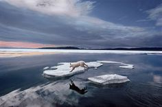 Ellesmere Island, Canada, National Geographic Society, included in iLCP Top 40 Nature Photos, National Geographic assignment 'At Home with the Arctic Wolf' and from White Wolf. Wolf Photos, Nature Photos, Life Magazine, National Geographic, Ellesmere Island, Arctic Wolf, Northwest Territories, Wolf Wallpaper, White Wolf