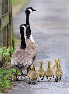 Adorable Canadian Goose family out for a stroll. The Animals, Farm Animals, Animals With Their Babies, Love Birds, Beautiful Birds, Animals Beautiful, Adorable Animals, Cute Animals Images, Animals Photos