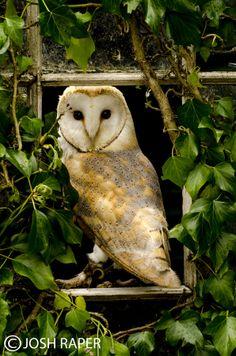 Photo Barn Owl in the window by Josh  Raper on 500px