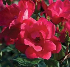 Rosa (The Knock Out® Rose)  The Knock Out® Family of Roses are easy to grow and do not require special care. They are the most disease resistant rose on the market. They have stunning flower power with a generous bloom cycle. They are self-cleaning so there is no need to deadhead.