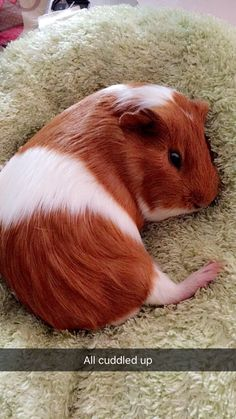 When your guinea pig relaxes like this: