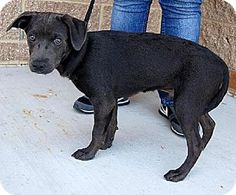 blue lacy dog photo | ... Blue Lacy/Texas Lacy/Labrador Retriever Mix. Meet Knight a Dog for