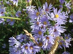 Alberta Wildflowers  Smooth Blue Aster (Symphyotrichum laeve)